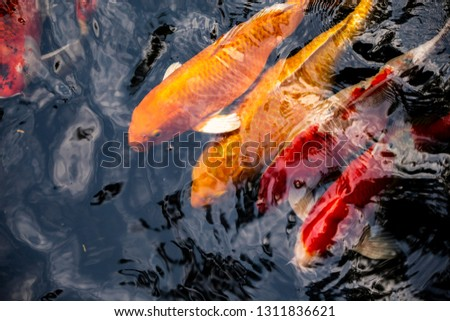 Colorful fish or carp or fancy carp, Fancy carp swimming at pond #1311836621
