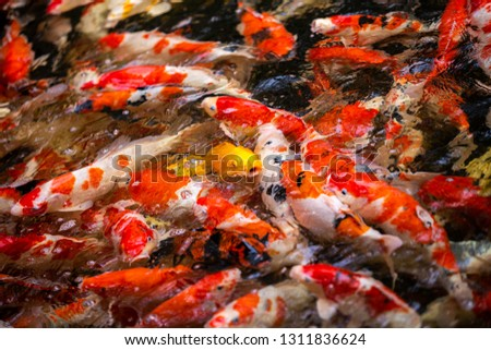 Colorful fish or carp or fancy carp, Fancy carp swimming at pond #1311836624