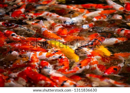 Colorful fish or carp or fancy carp, Fancy carp swimming at pond #1311836630