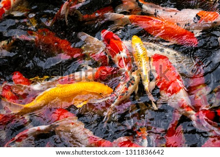 Colorful fish or carp or fancy carp, Fancy carp swimming at pond #1311836642