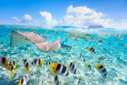 Colorful fish, stingray and black tipped sharks underwater in Bora Bora lagoon