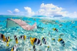Colorful fish, stingray and black tipped sharks underwater in Bora Bora lagoon