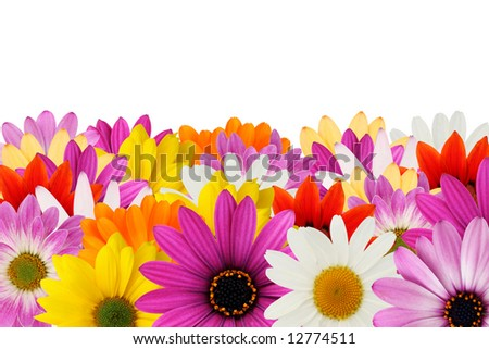 Colorful floral border made from spring daisies