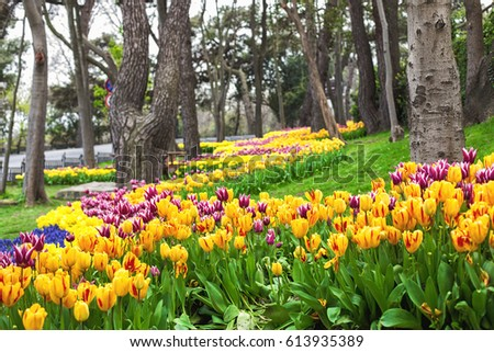 Colorful flower beds during the annual April tulip festival in Istanbul in Yildiz Park #613935389