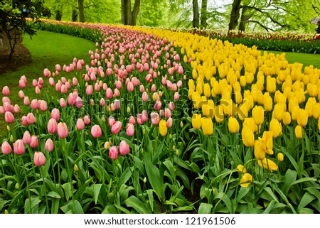 colorful flowerbed  - tulip stripes in Keukenhof garden, Holland