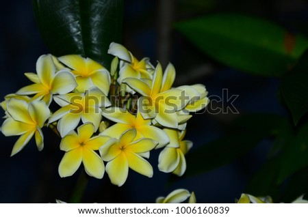 Colorful flowers  flowers,Plumeria Flower. white flower.white flower or white flower background #1006160839