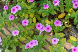 Colorful flowers. Kissing flowers. Residential garden. Floriculture and natural decoration. Ornamental plant. Hummingbirds are small and colorful birds belonging to the family Trochilidae