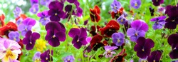 Colorful flowers pansies on a green background