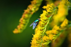 Colorful Fly Insect Resting on Bright Yellow Flowers in Asheville, North Carolina