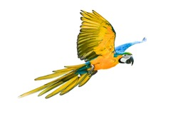 colorful flying parrot isolated on white background,photo blurred.