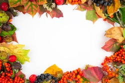Colorful frame of fall harvest - autumn maple  leaves, wild apples,   Rowan berries, black chokeberrys and chestnuts on white background. Autumn frame