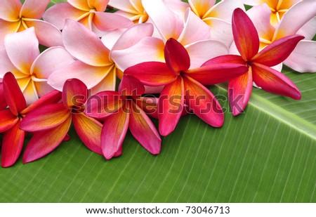 Colorful Frangipani flowers