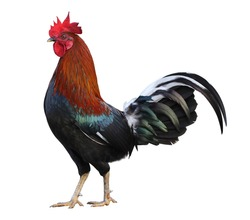 Colorful free range male rooster isolated on white background with clipping path