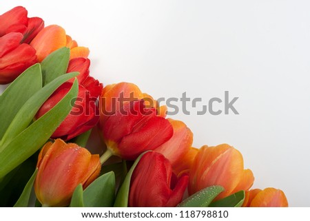 colorful fresh red and orange tulips with water drops isolated on white background