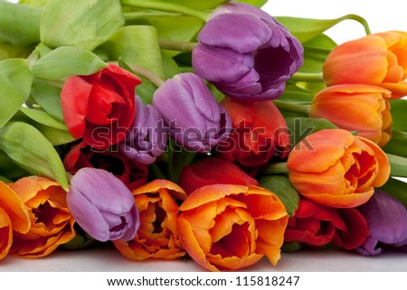 colorful fresh red, orange and violet tulips with water drops isolated on white background
