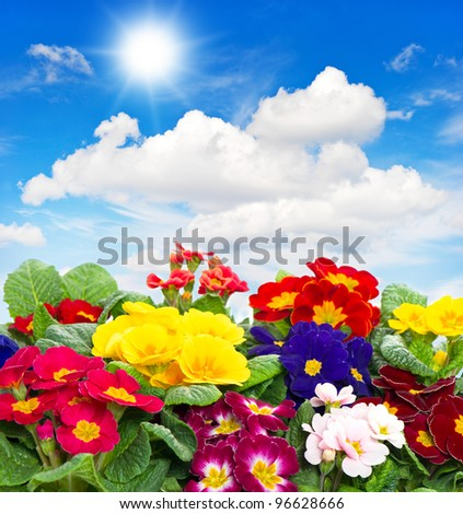 colorful fresh spring flowers primula on sunny blue sky background