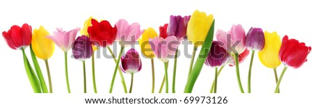 Colorful fresh spring tulips flowers border in a row on white background