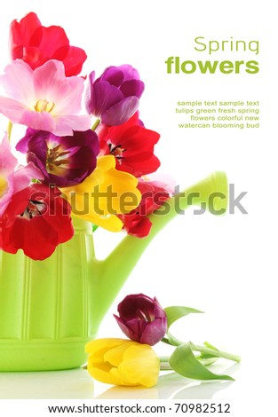 Colorful fresh spring tulips flowers in green watering can on white background