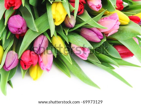 Colorful fresh spring tulips flowers on white background