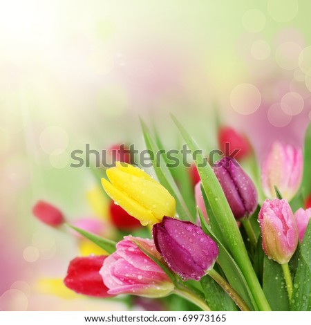 Colorful fresh spring tulips flowers with dew drops
