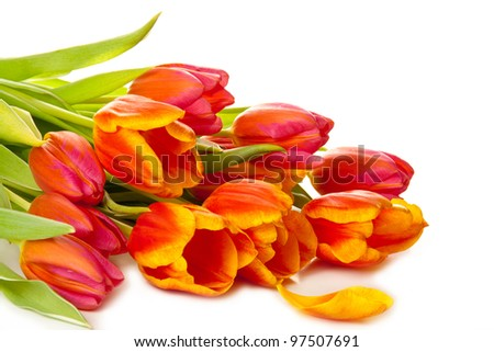 Colorful  fresh tulip flowers  on white background