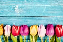 Colorful fresh tulips aligned on a rustic wooden surface made of horizontal boards painted with blue