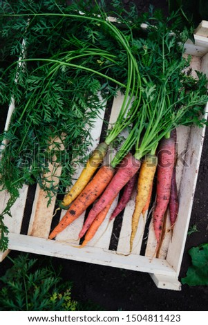 Colorful freshly picked carrots in a wooden box in the garden. Top view.