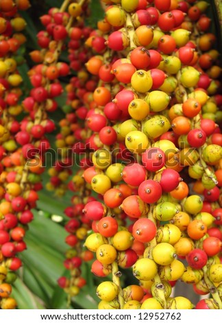 Colorful Fruits of the Christmas Palm -- this tree is also called Manila Palm or in Latin Adonidia Merrillii