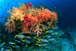 Colorful Fusilier fish schooling and congregating around the Wing of a american fighter plane from worldwar 2 that is overgrown with abundant soft corals in Raja Ampat, Indonesia