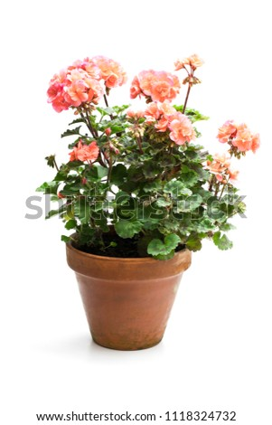 Colorful  Geranium flower in ceramic flowerpot isolated on white  #1118324732