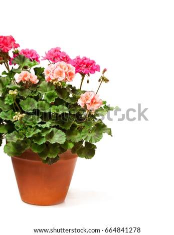 Colorful  Geranium flower in ceramic flowerpot isolated on white  #664841278