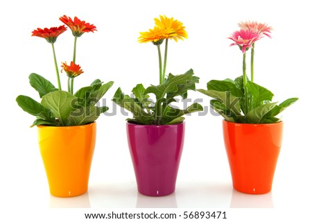 Colorful Gerber plants in a row isolated over white