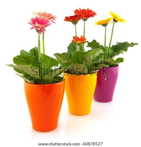 Colorful  Gerber plants in flower pots isolated over white