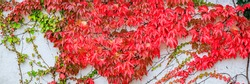 Colorful grapevine covered wall. Autumn red leaves background, close up. Huge wall of Red leaves Virginia creeper vine Parthenoci, banner