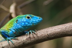 colorful green and blue lizard on branch close up macro in tropical colombia