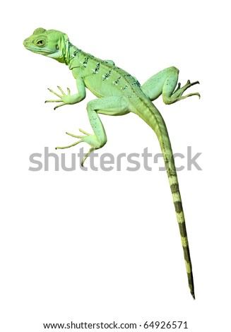 Colorful green basilisk lizard isolated on white background