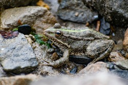 Colorful green frog with expressive eyes, sitting among rocks and vegetation. Inhabitant of rivers and swamps with blooming water and plants. Bubble amphibian animal