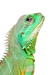 colorful green lizard close-up. Isolated