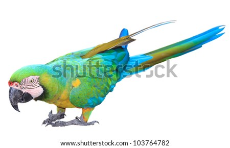 Colorful green parrot macaw isolated on white background