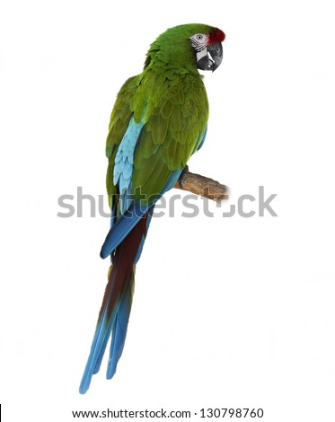 Colorful Green Parrot Macaw  On White Background