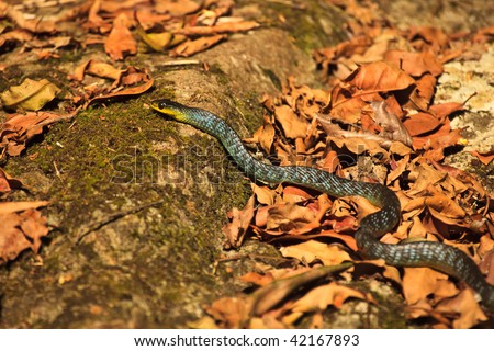 Colorful  green tree snake, Dendrelaphis punctulatus slithering along forest floor