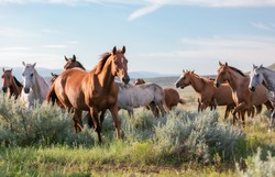 Colorful herd of ranch horses galloping in front of the pryor mountains in Montana.