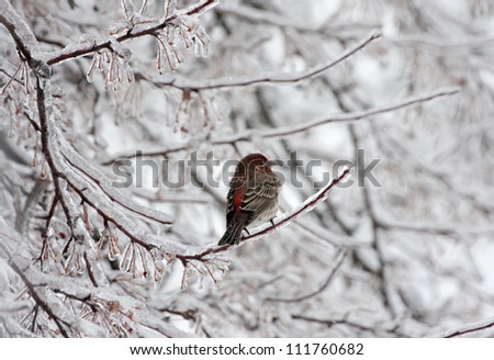 Colorful House Wren in Winter
