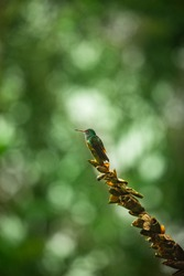 Colorful Humming Bird sitting on a Tree Branch, isolated with blurred Background and Copy Space