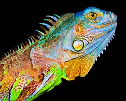 Colorful iguana on black background