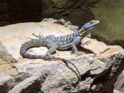 colorful iguana Petrosaurus thalassinus, Baja blue rock lizard