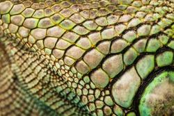 colorful iguana reptile skin, close up