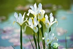 Colorful irises hollandica in the garden, perennial garden. Gardening. Bearded iris.