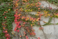 Colorful ivy leaves crawling on a gray wall in autumn
