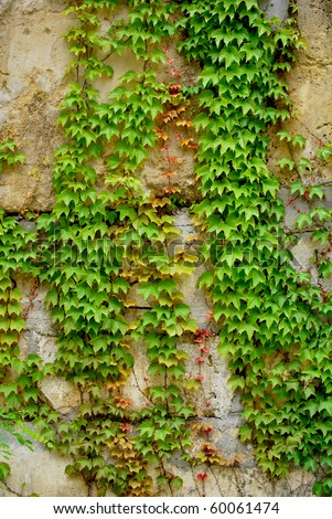 Colorful ivy leaves in Summer, gray colored wall as background.